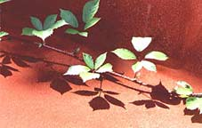 Artwork: Leaf Shadow
